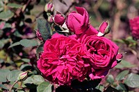 Rose Reine Marguerite d´ italie Hybrid Tea Rose. Two flowers with opening buds.