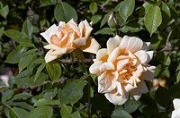 Rose Word Welcome Floribunda Rose. Two flowers with buds