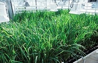 Transgenic rice research. Rows of transgenic rice plants being cultivated in a greenhouse. Transgenic plants are ones that have been genetically modif...