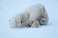 Eisbaer waelzt sich im Schnee, polar bear rolling in the snow