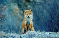 Rotfuchs, red fox, Vulpes vulpes