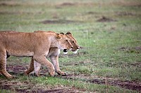Two lionesses Panthera leo walking together in a field, Masai Mara National Reserve, Kenya