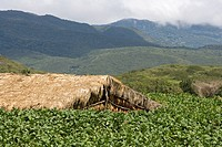 Dominican Republic _ Centre _ The Cibao Valley _ tobacco _ Santiago _ plantation