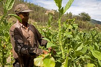 Dominican Republic _ Centre _ The Cibao _ Tobacco Valley _ Plantation _ Picking up leaves