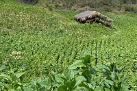 Dominican Republic _ Centre _ The Cibao _ Tobacco Valley _ Plantation
