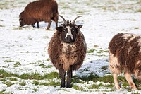 Jacob Sheep With Horns, Winter