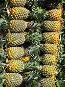 Pineapples, Ananas comosus, Bromeliaceae arranged at market for sell
