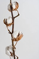 Cotton Boll Plant