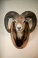 Stuffed head of a Bighorn Sheep