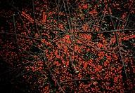 A Winterberry Holly Bush