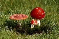 Fly agaric mushrooms growing in a field