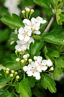 Hawthorn (Crataegus sp.) in bloom. Turo del Putget park, Barcelona, Catalonia, Spain
