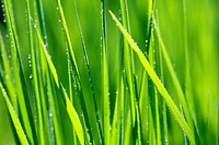 Green grass with dew drops, close up