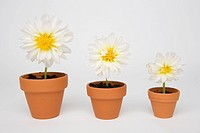 Three different sized potted Chrysanthemum flowers