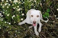 Spanish Waterdog, Portrait