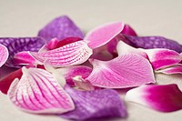 Petals from a Moth Orchid Phalaenopsis