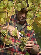 A vintner harvesting grapes