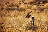 Gemsbok Oryx gazella, NamibRand Nature Reserve, Namibia