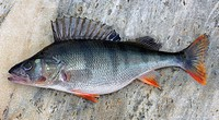 Genre, Fish, Fishes, Fishing, Perca fluviatilis, Perch, Perchs, Seafood, Sweden, Fresh