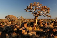 Quiver Tree Forest, Aloe dichotoma, Quiver trees, Keetmanshoop, Karas Region, Namibia, Africa, landscape, scenery, nature, dusk