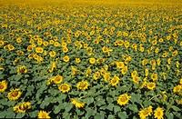 Switzerland, Ticino, Magadinoebene, sunflowers, field, yellow