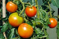 Tomato fruit close_up