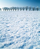 Oaks in field covered in snow.