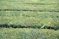 Tea plantation, Chá Gorreana, São Miguel, Azores, Portugal