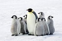 Emperor penguin with children the Antarctic