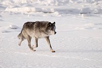 Wolf running in the snow