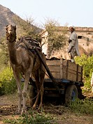 Aravalli Hills,Rajasthan,India,Senior man standing on a cart,drawn by a camel