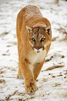 Cougar Felis concolor- captive in winter habitat