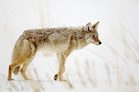 Coyote Canis latrans in winter habitat