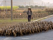 Duck herder in China