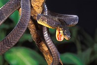 Blandings tree snake