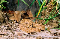 Prairie rattlesnake testing surroundings