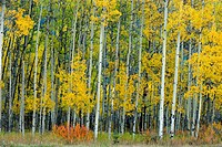 Frosted aspens and colourful shrub in autumn