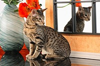Serengeti cat _ sitting in front of mirror