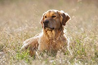Golden Retriever dog _ lying on meadow