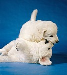 Kuvasz dog _ two puppies