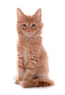 Maine Coon cat _ kitten sitting _ cut out
