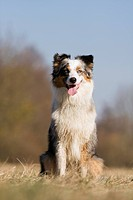 Australian Shepherd dog _ sitting on meadow