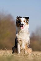 Australian Shepherd dog _ sitting on meadow