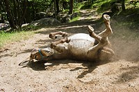 donkey is rolling in sand, family_hiking with a donkey in the Cevennes mountains, France