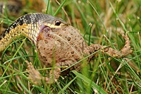 Common garter snake Thamnophis sirtalis swallowing toad on lawn