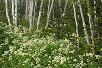 Grove of paper birch trees and flowering asters
