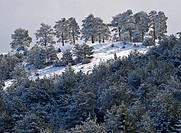Scots Pine (Pinus sylvestris) snow-covered forest on Penyagolosa mountainside, Vistabella del Maestrat, Alcalaten, Castellon province, Comunidad Valen...