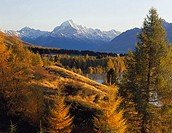 Douglas fir trees in autumn beside Lake Pukaki Aoraki / Mt Cook in distance New Zealand