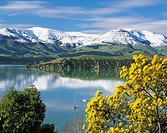 Wattle in bloom with snow on Banks Peninsula reflected in Lyttelton Harbour New Zealand