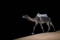 A dromedary in the desert at night Morocco.